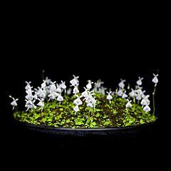 Sanderson's bladderwort ( Utriculariasandersonii )