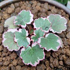 Variegated Strawberry Begonia ( Saxifraga stolonifera Var. )