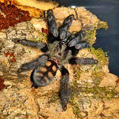 Venezuelan Suntiger Tarantula (Psalmopoeus irminia)