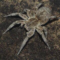 Wolf Spider (Lycosa singoriensis)