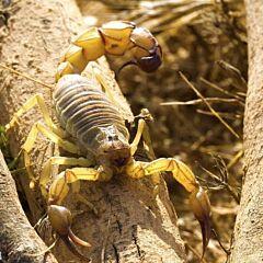 Yellow Fat-tailed Scorpion (Androctonus australis Tunesien)