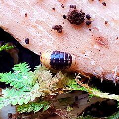 Yellow Head (Rhopalomeris sp. )