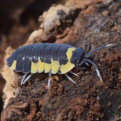 Yellow Panda Isopods (Merulanella bicolorata)