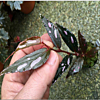 begonia sp.julau thin leaf