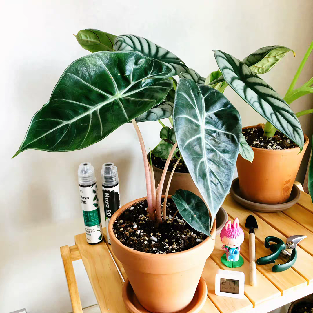 Alocasia Morocco /'Pink Dragon/'  ****Heat Pack Included***