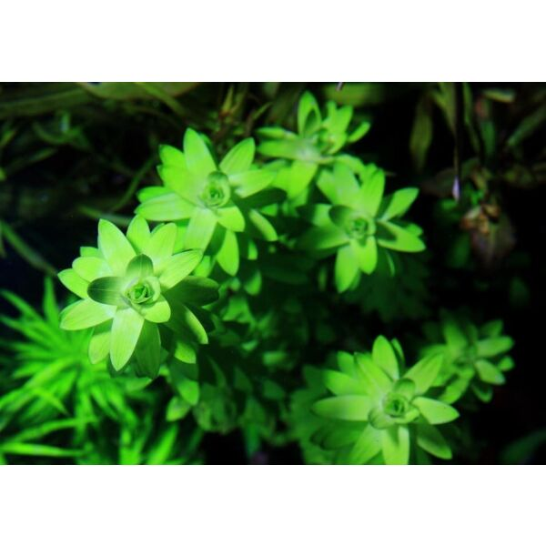 Tonina fluviatilis ''Lotus Blossom''