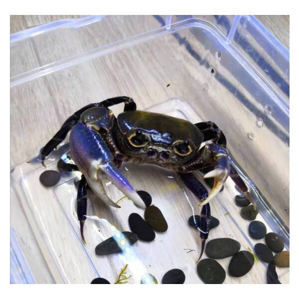 Purple Leg Warrior Crab (Hainanpotamon fuchengense)