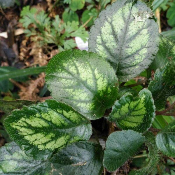 Gesneriaceae sp