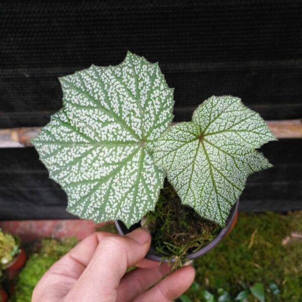 Begonia sp. silver leaf