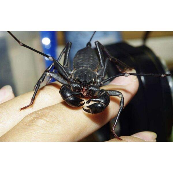 Giant Whip Scorpion (Mastigoproctus giganteus)