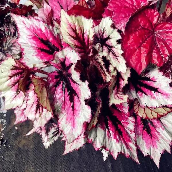 Begonia sp. (White & Pink)