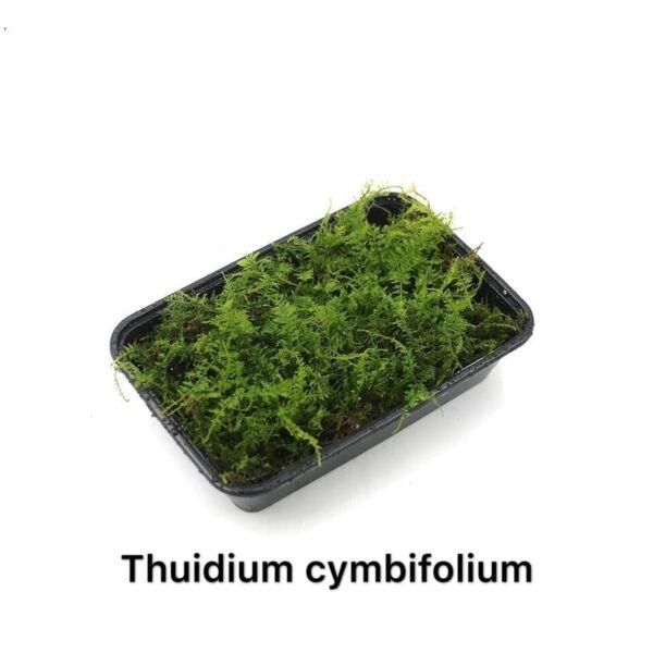 Cymbifolium Thuidium (Thuidium cymbifolium)