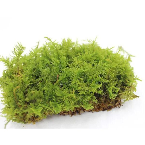 Cymbifolium Thuidium ( Thuidium cymbifolium )