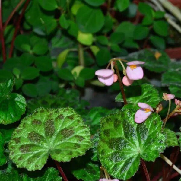Begonia luzhainensis