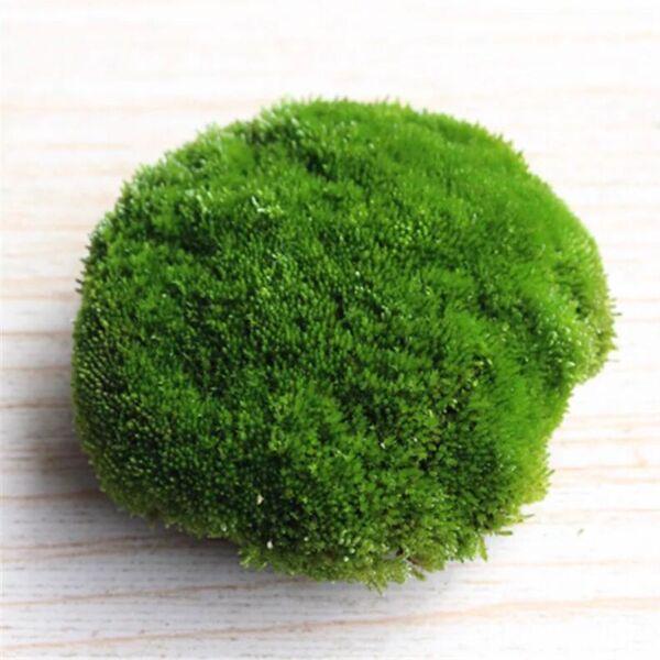 Herb of Cord Moss (Funaria hygrometrica)