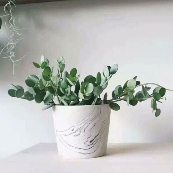 Silver Dollar Plant ( Xerosicyos danguyi )