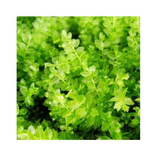 Plagiomnium Moss (Plagiomnium acutum)