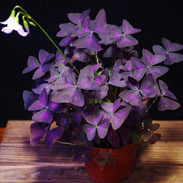 False Shamrock ( Oxalis triangularis )
