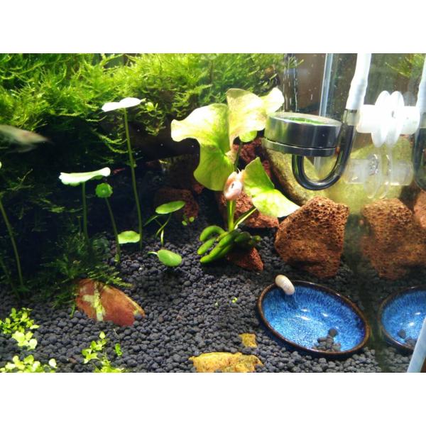 Banana Lily (Nymphoides aquatica)