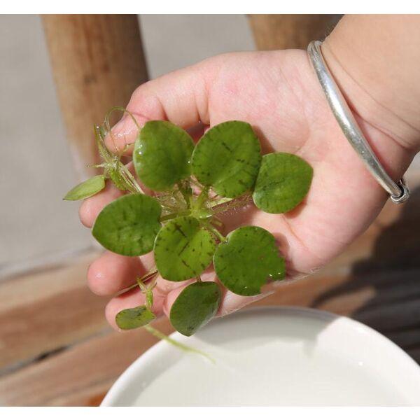 Lemna Minor (Limnobium laevigatum)