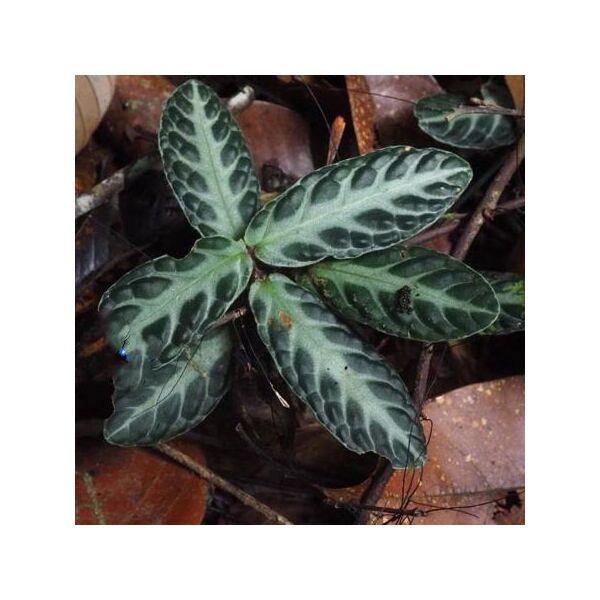 Gesneriaceae sp (Borneo)