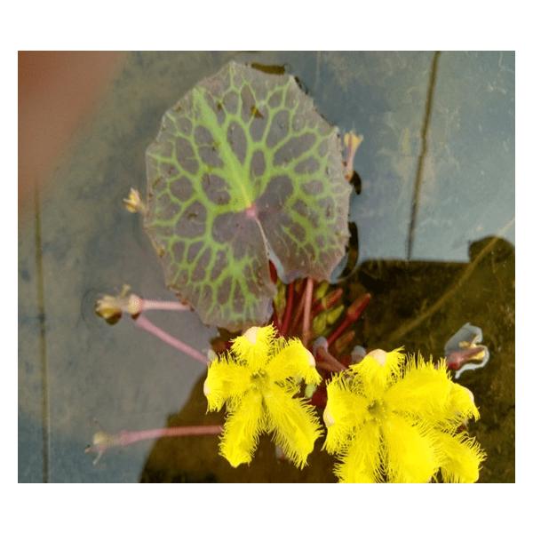 Turtleshell Nymphoides (Nymphoides peltatum)