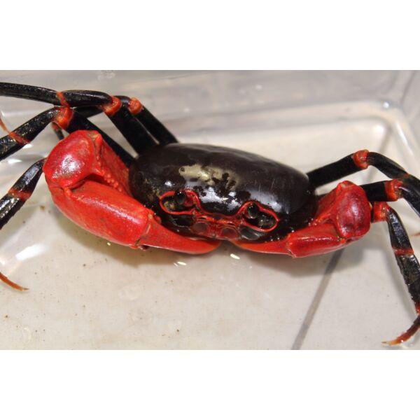 Black Lightning Crab (Tiwaripotamon vietnamicum)