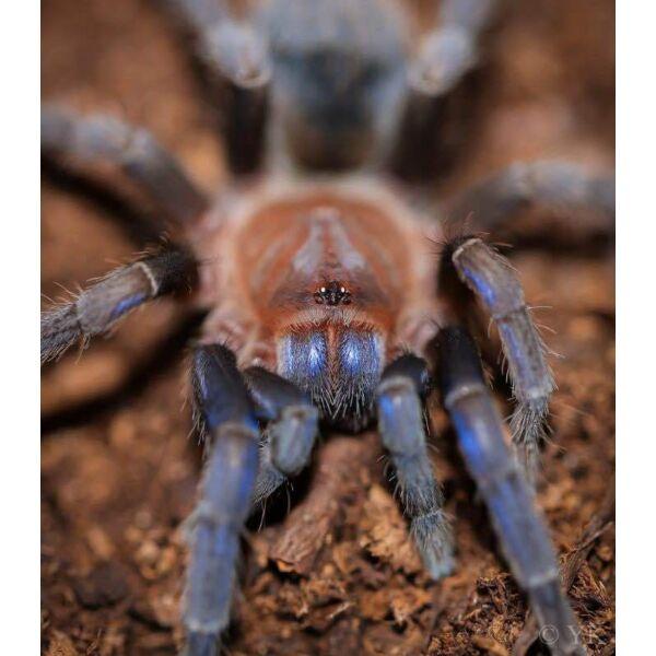 Costa Rican Blue Front Tarantula (Aphonopelma crinirufum)