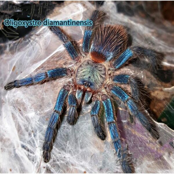 Brazilian Blue Dwarf Tarantula (Dolichothele diamantinensis)