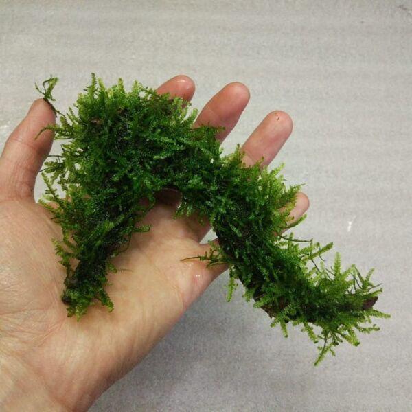 Moss on Driftwood
