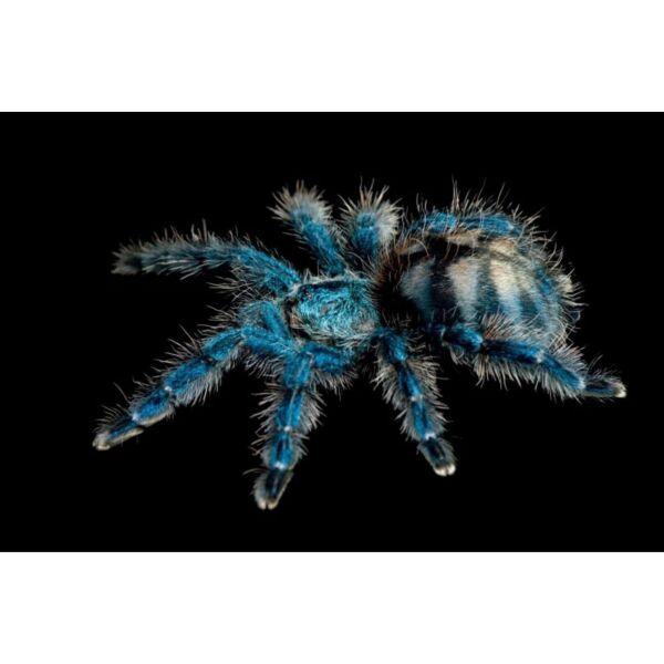 Antilles Pinktoe Tarantula (Caribena versicolor)