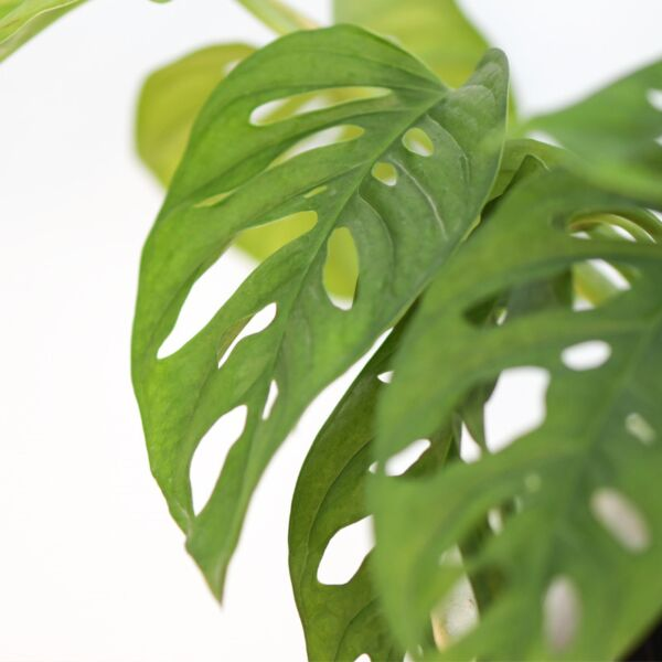 Swiss Cheese Plant ( Monstera adansonii )