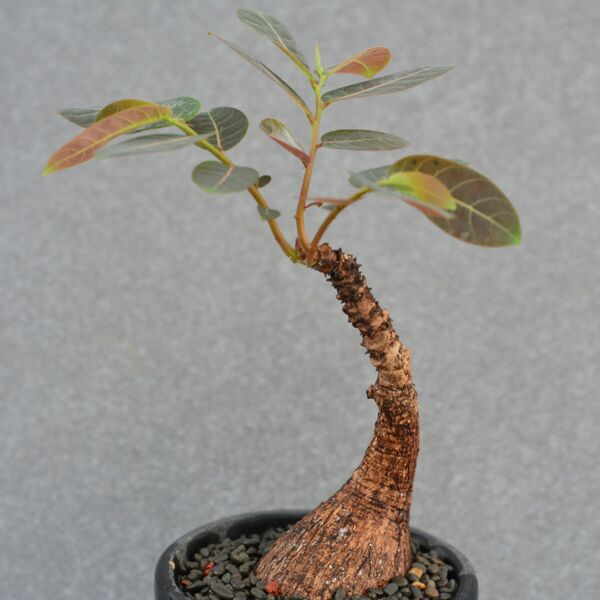 Phyllanthus Mirabilis (Phyllanthaceae)