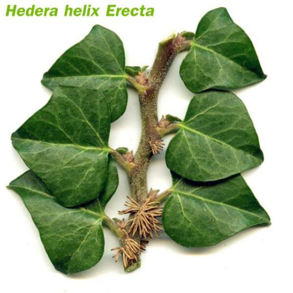 Hedera Helix Erecta (Hedera linn)