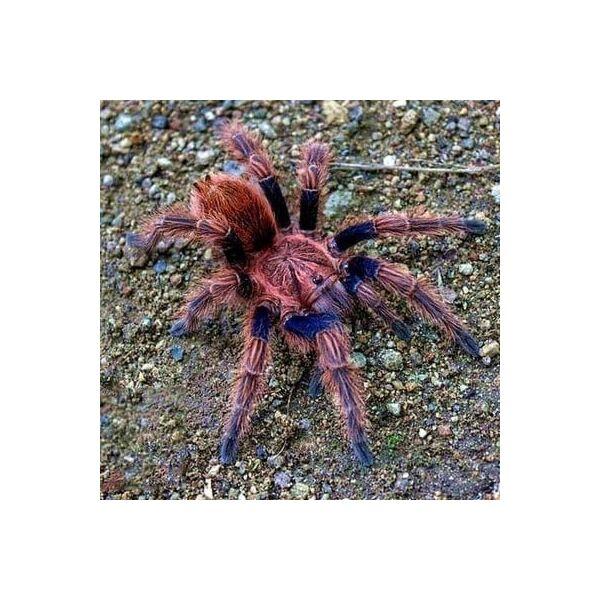Palp Friction Tarantula (Bonnetina chamela)