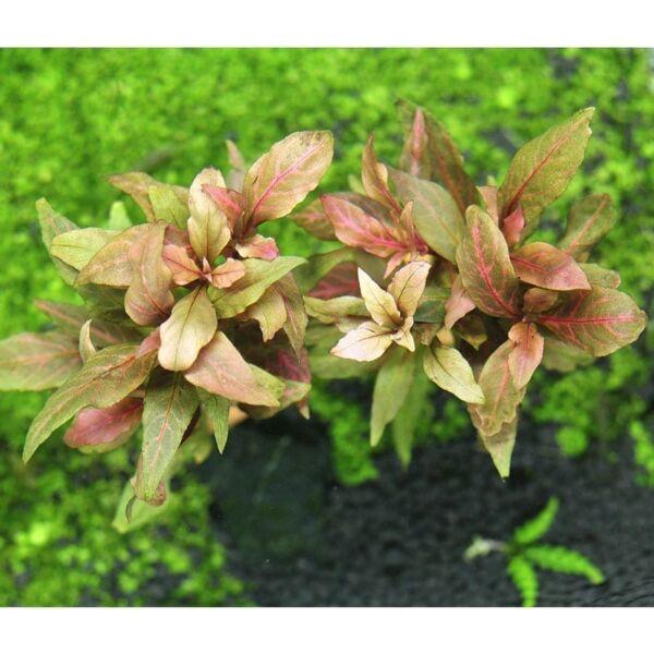 Telanthera (Alternanthera reineckii)