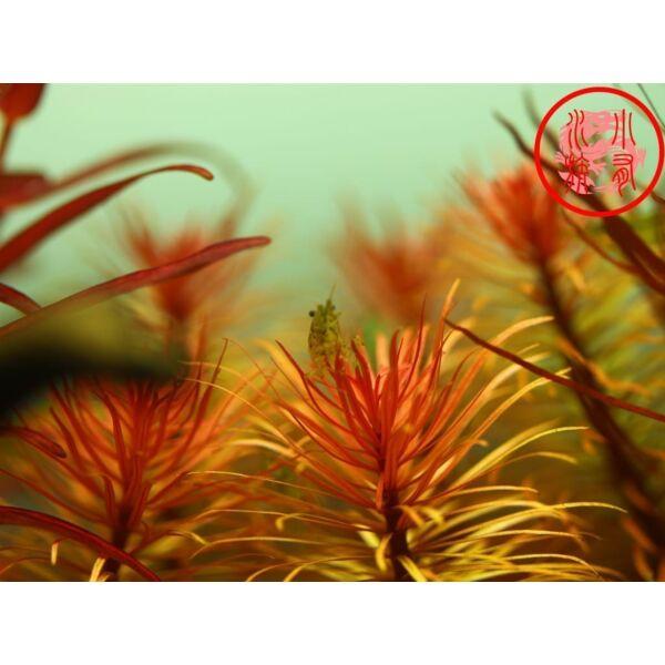 Ludwigia Inclinata var.Verticillata'Pantanal'