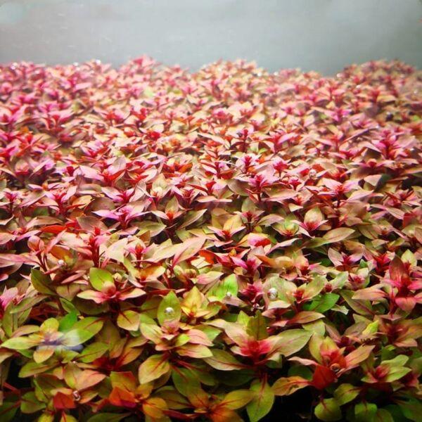 Ludwigia palustris 'super red'