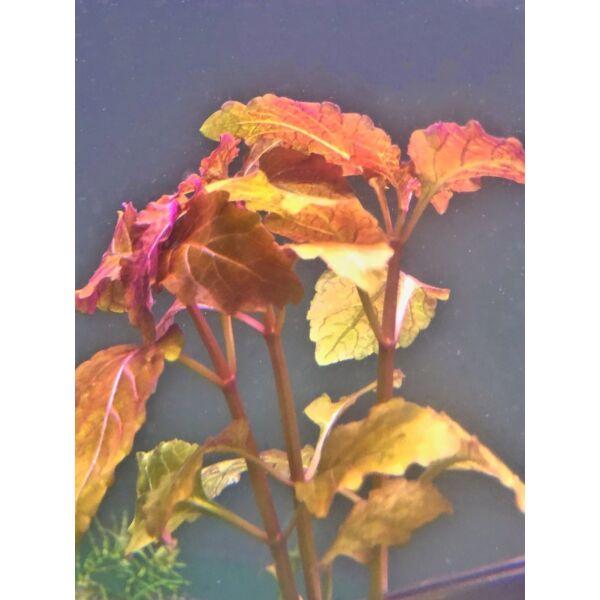 Hemigraphis Traian (Hyptis lorentziana)