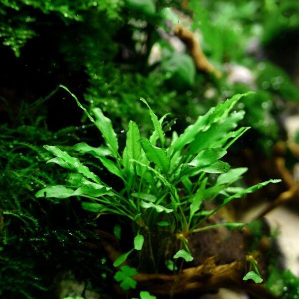 Water Trumpet (Cryptocoryne wendtii 'Green')