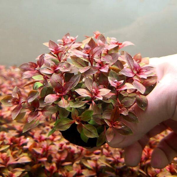 Ludwigia palustris ' super red '