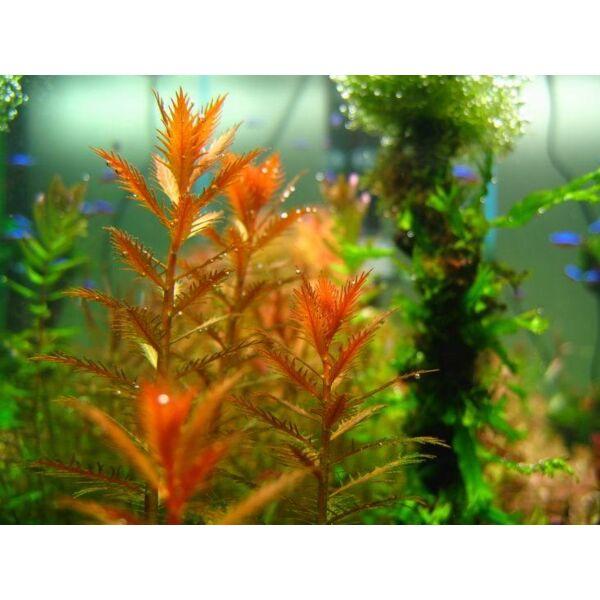 Mermaid Weed (Proserpinaca palustris)