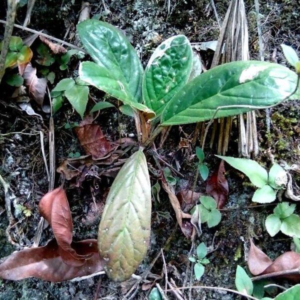 Paraboea guilinensis
