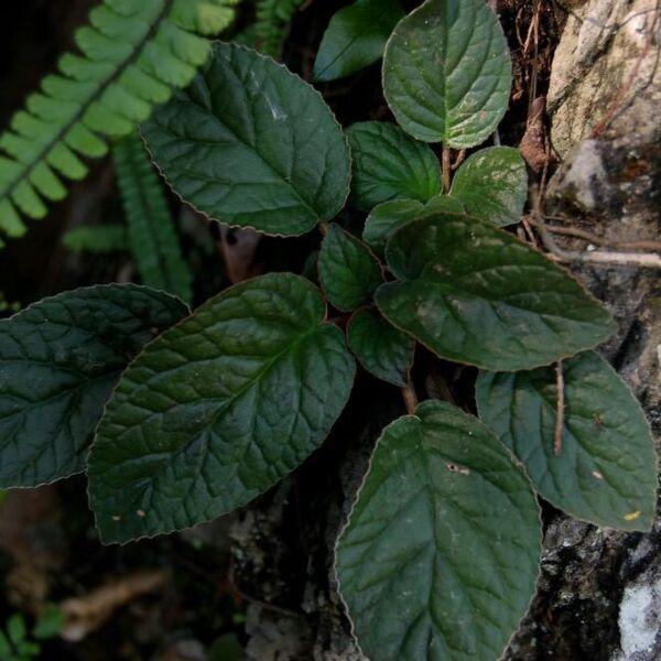 Paraboea rufescens ( Franch. ) Burtt.