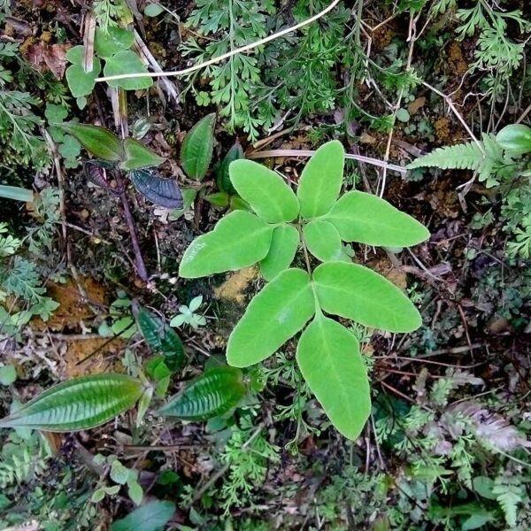 Asian Royal Fern (Osmunda japonica)