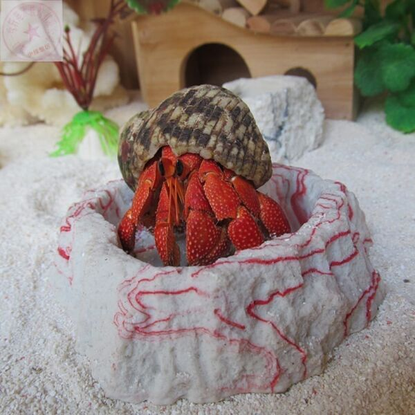 Strawberry Hermit Crab (Coenobita perlatus)