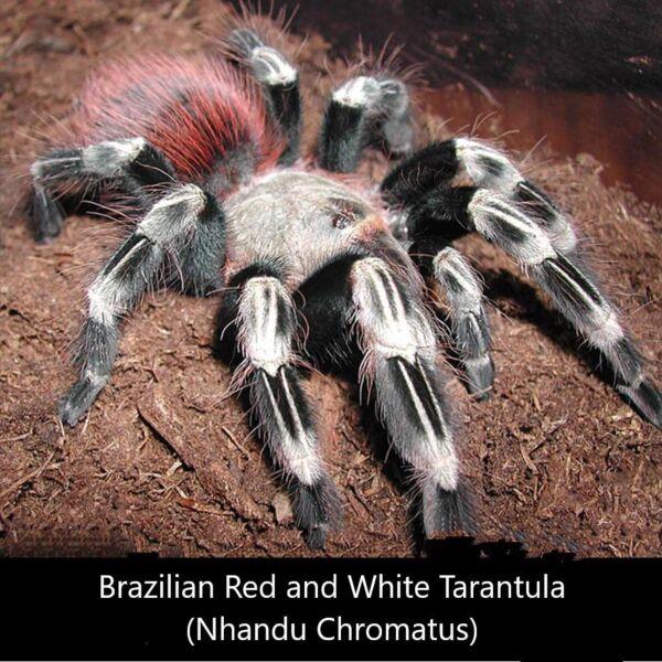 Brazilian Red and White Tarantula (Nhandu chromatus)