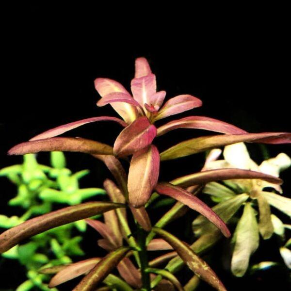 Rotala Sp. Sunset (Ammannia sp.Sulawesi)