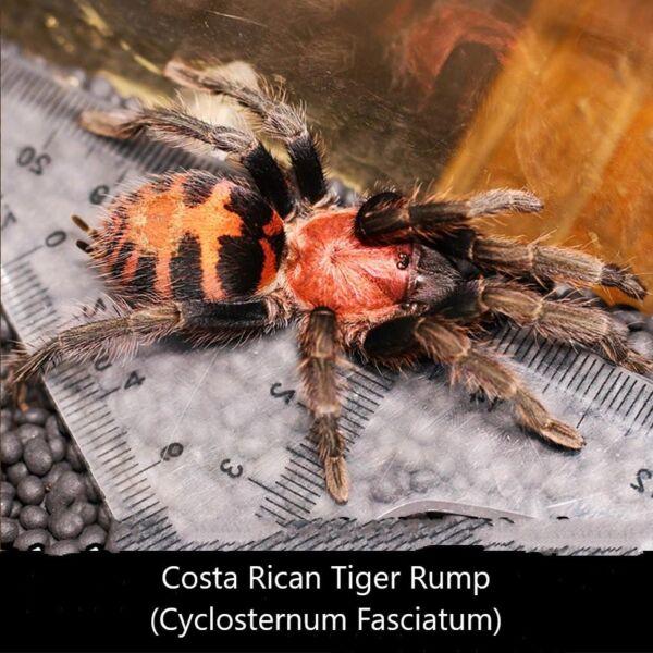 Costa Rican Tiger Rump Tarantula (Cyclosternum fasciatum)