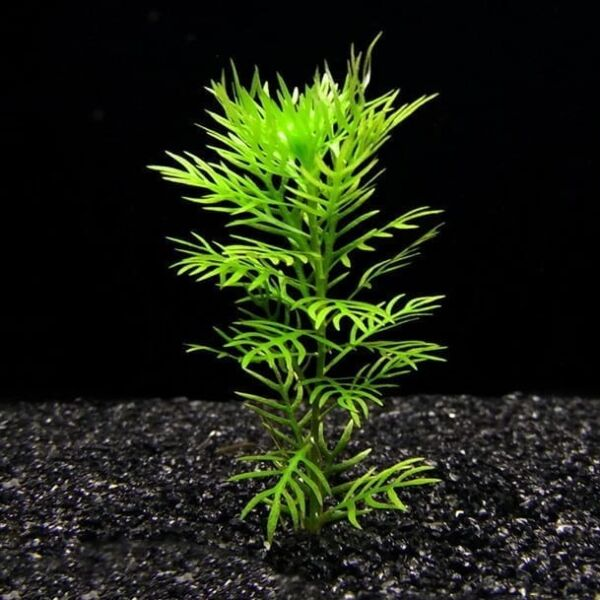 American Featherfoil (Hottonia inflata)